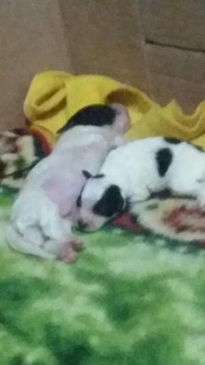Vendos Lindos Cachorros Machitos