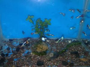 Peces goldfish variedades acuario bettas guppys posot class for Peces ornamentales acuarios