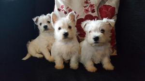 West Highland White Terriet