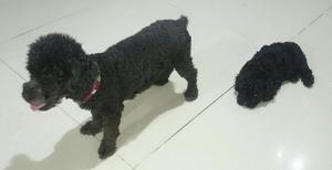 Venta de Cachorros Poddle Toy