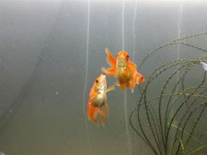 Comida peces importd hikari first bites goldfish posot class for Vendo peces