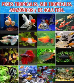 Peces ornamentales cola de espada com n posot class for Criaderos de peces de agua fria