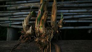 Se vende plantas de tara posot class for Vendo plantas ornamentales