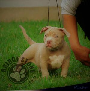 Cachorro American Bully Disponible