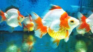 Peces guppy orejon acuario goldfish posot class for Criadero de peces ornamentales
