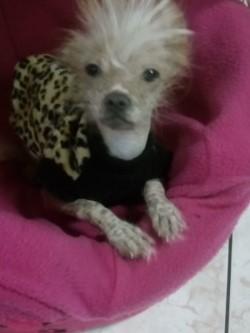 perro peruano toy