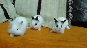 Conejos Enanos Cabeza de León