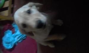 cambio perra labradora por perro calato peruano
