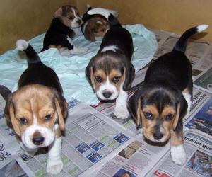 Hermosos Beagles Padres Pedigre De Casa Miraflores dos