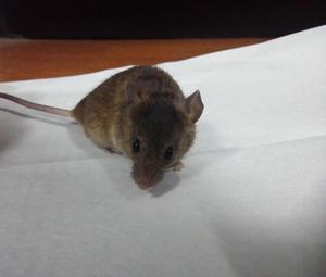 Lindos ratones en adopción