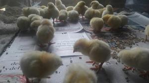 Pollos Bebe Doble Pechuga. Pollo