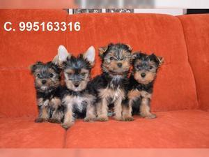 bellos lindos vacunados yorkshire lindos cachorros envios a