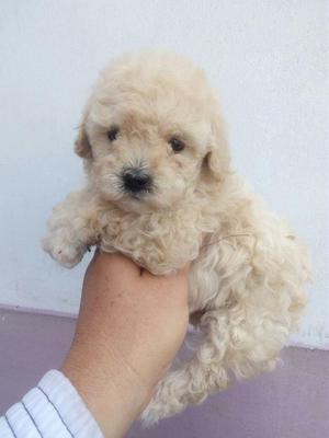 Poodle Lindos cachorros, TOYS, 2 meses, vacunados y