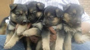 en Venta Lindos Cachorros