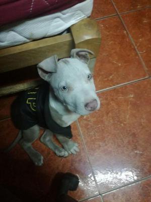 Urgente!! Se vende pitbull machito de 4 meses