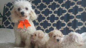 Hermosos Cachorritos Poodle Toy