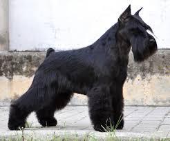 cachorro macho schnauzer