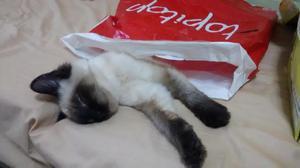 gato macho siames