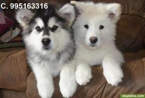 hermosos lindos alaska malamute en venta lindos cachorros