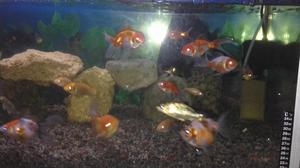 Vendo golfish panda peces tacna posot class for Vendo peces