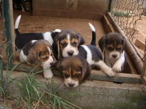 BEAGLE TRICOLOR PADRES ARGENTINOS