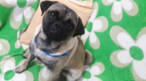 Vendo Perro Pug Carlino de 6 Meses Macho