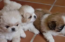 pekines cachorros hermosos