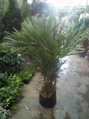 Planta palmera raphis planta de interior oficina posot class - Planta interior palmera ...