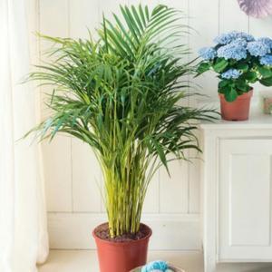 Remato cambio fina palmera enana y maceta planta posot class for Vendo plantas ornamentales