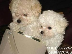 Cachorritos poodle toy