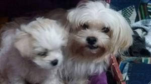 Maltes, lindos cachorros, machos 1 1/2 meses, vacunados y