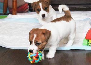 Cahorritos Jack Russell Terrier Verdaderos