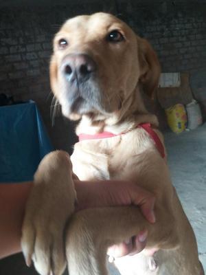 Donacion,regalo Labrador Hembra Cachorro