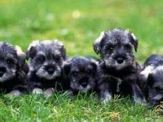 Bellos Cachorros Schnauzer Toy Machos y Hembras