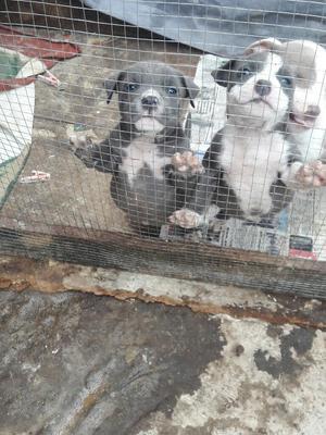 Cachorros Pitbull Blue Nose