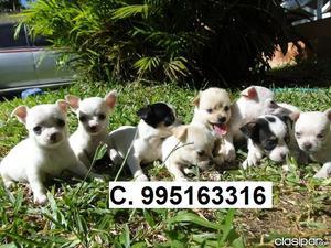 bellos lindos chihuahua lindos cachorros se venden vacunados