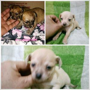Chihuahua, lindos cachorros, machos/cremas,