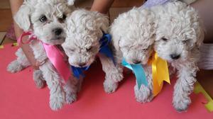 bellos cachorros poodle toy machosy hembras