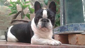 bulldog frances, machos para servicio de monta,,, 300, soles