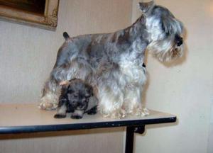 Cachorros Schnauzer