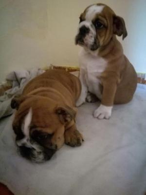 Se Vende Cachorros Bulldog Ingles