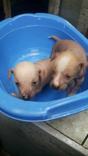 cachorritos de perro peruano de 1 mes y medio