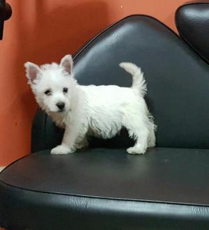 West Highland White Terrier Remato