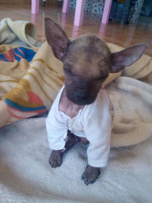 cachorro perro peruano