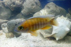 Peces platy veliferos variatus adultos posot class for Vendo peces