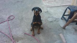 vendo hermosa cachorra rotweiler