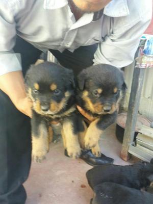 Rottweiler Cachorros