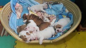 Se Vende Lindos Gorditos Bulldog Ingles
