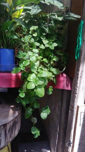 Plantas de coco y plantas ornamentales crotos posot class for Vendo plantas ornamentales