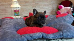 Bulldog Frances Hermosos